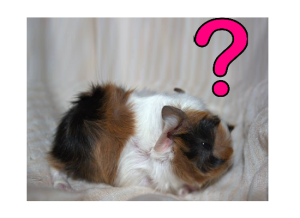 What is a Guinea Pig